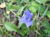 fiore-blu